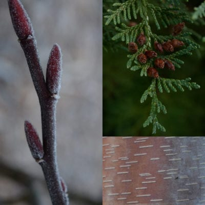 Branches, Bark, and Buds: Winter Tree Identificaton @ Center for Urban Horticulture